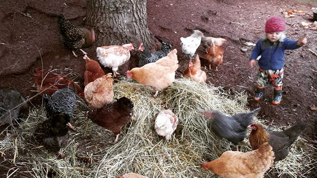The chickens got some scraps of straw and hay today to go in their outside area and everyone was exc