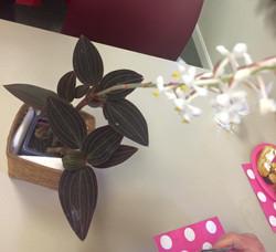 Ludisia 'Jewel Orchid'