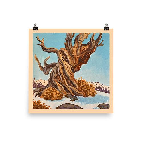 "Bristlecone Pine Poster, 10""x10"""