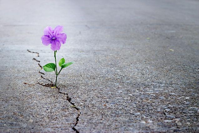 Purple flower growing on crack street, s