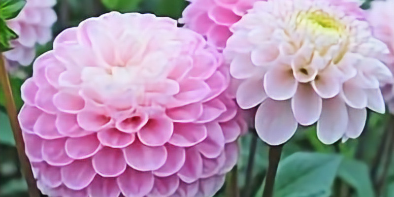Sip and Paint - Dahlias