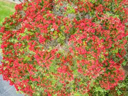 Pohutukawa Tree Drone Aerial