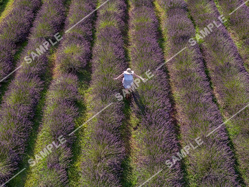 Lavender Field Drone