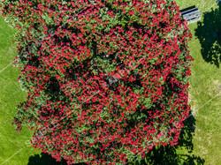 Pohutukawa Tree Drone Aerial Photograph