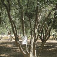 Field dug 'Wilson' Olive