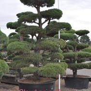 Cloud Pruned Pinus Sylvestris