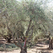 Field-dug Manzanillo Olive