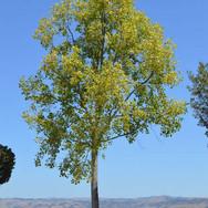 Liriodendron t. 'Aureomarginatum'