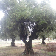 100 Year Old Olive