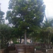 Podocarpus Gracilior