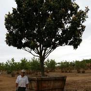 Magnolia Little Gem