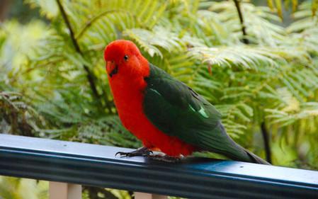 King parrot.jpg