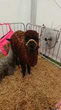 Finding Batty at the Devon County Show in May 2019 with Winsaula Alpacas