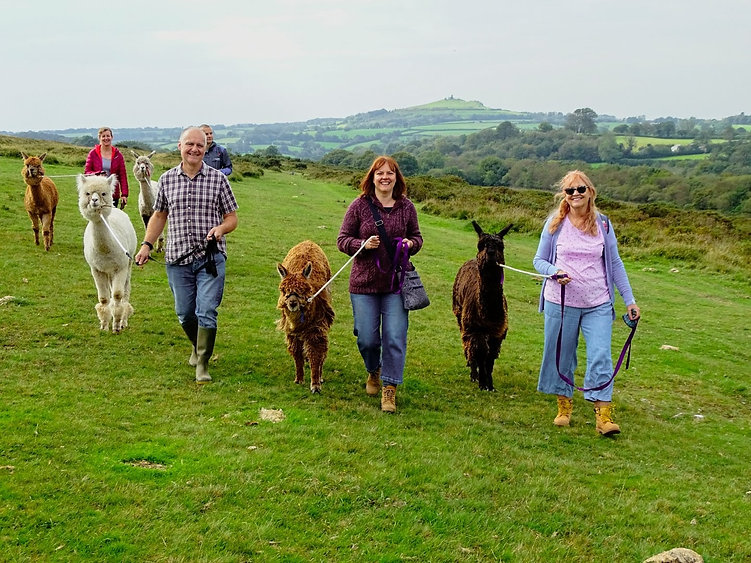 Devon Alpaca Trekking in Dartmoor National Park