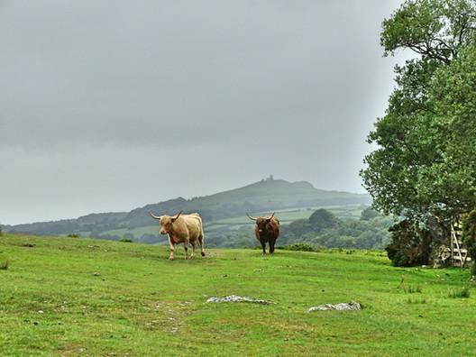 Highland cattle on the alpaca trekking route