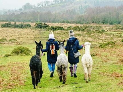 Alpaca Trekking in Dartmoor National Park