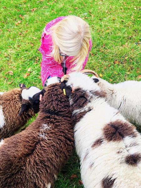 Feeding treats to the sheep on an Animal Encounter