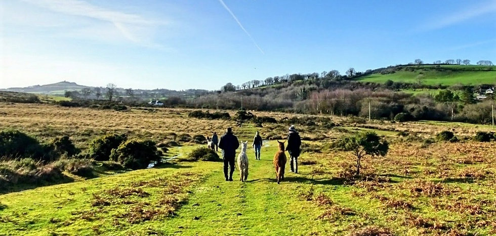 Alpaca trekking in the winter in Dartmoor National Park walking towards St Michael de Rupe, Brentor Church