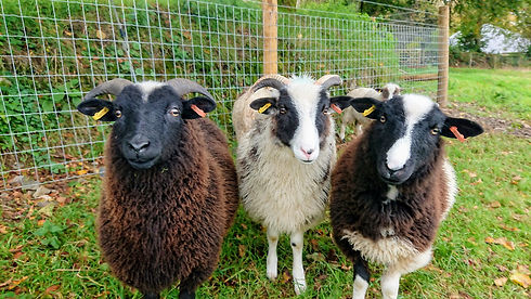 Dave Sheep, Gerald and Woolly, the three amigos