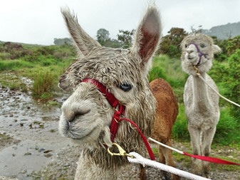 Mr Sharps and Penfold on an Alpaca Trek
