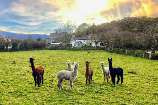 The Alpaca Boys!
