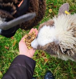 Feeding Snowball