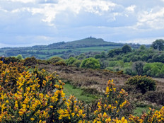 Late Spring gorse looking towards Brentor Church