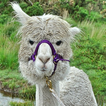 Penfold on an Alpaca Trek