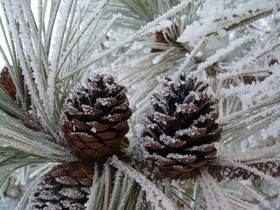 pinecones-2733289_1280.jpg