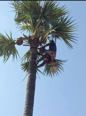 Palm Sap extraction from Palm Tree