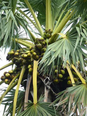 Indian Traditions Palm Tree