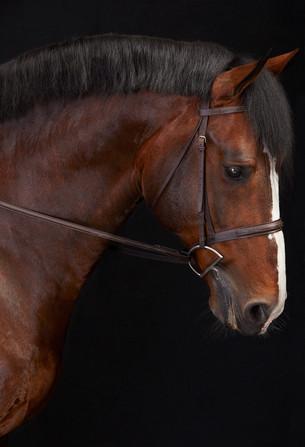 Breeding Stallion Dulf Van Den Bisschop