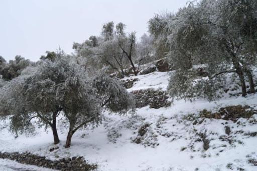 Oliveto e danni da neve