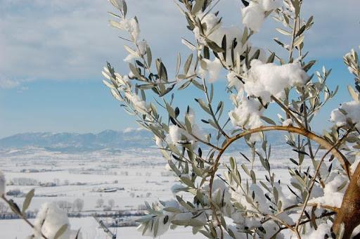 Effetti della neve sull'ulivo
