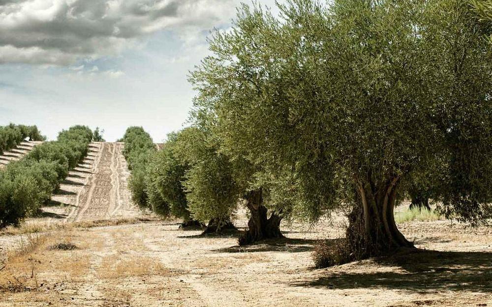Effetti del clima sugli ulivi