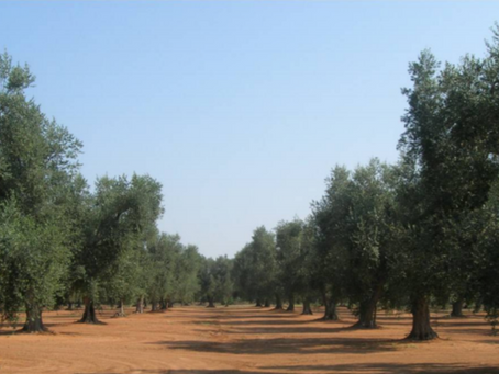 Differenza tra i metodi di allevamento degli oliveti
