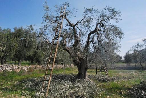 arieggiamento chioma per cura dell'olivo