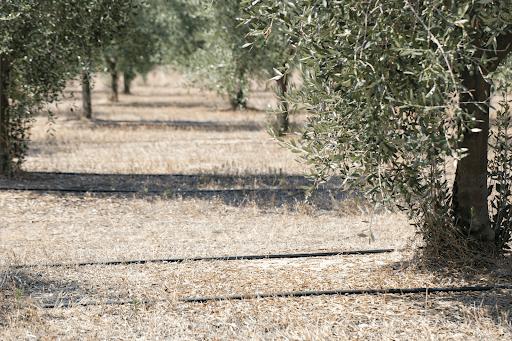sistemi di irrigazione per gli ulivi