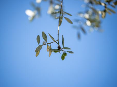 La concimazione dell'oliveto
