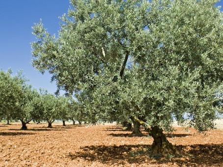 26 Novembre: Giornata mondiale dell'olivo