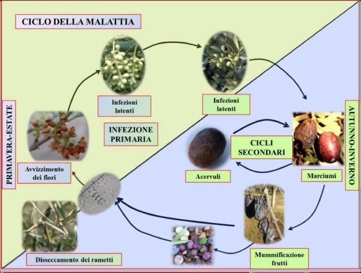 Sviluppo della lebbra nelle piante di ulivo
