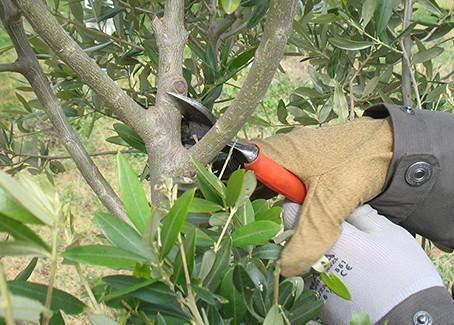 La potatura di allevamento e produzione dell'olivo