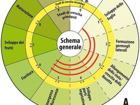 La scala BBCH, l'olivo e la vite