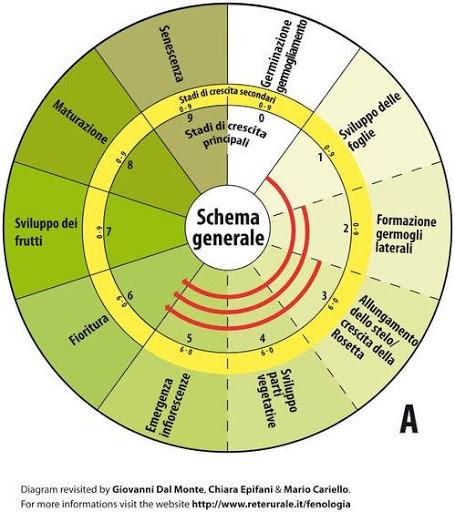 Rappresentazione scala BBCH