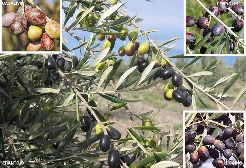 quando matura un olivo?