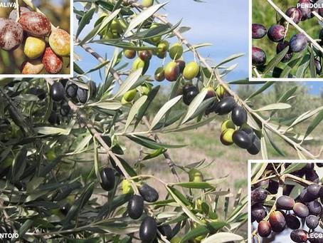 La raccolta delle olive: cosa è utile sapere