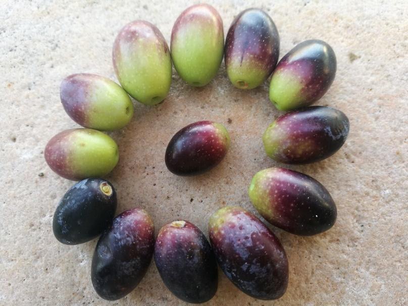 fasi di maturazione delle olive