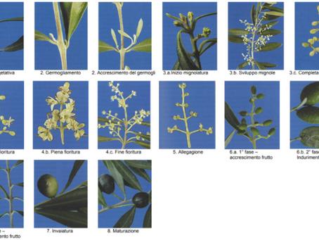 Le fasi fenologiche dell'olivo e il servizio di Elaisian