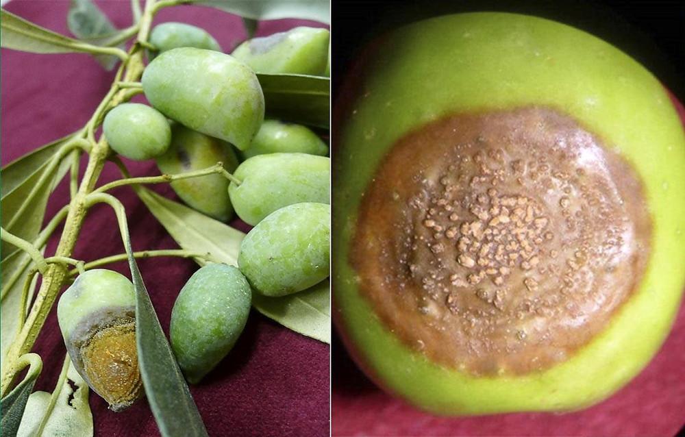 tacche necrotiche sulle olive