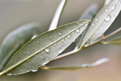 malattie dell olivo occhio di pavone